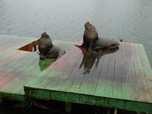 Seehunde auf der Plattform am Río Valdivia