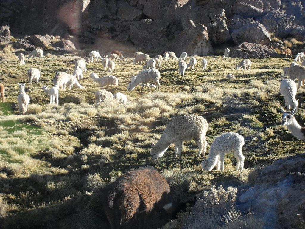 Grasende Alpakas auf der Hochebene