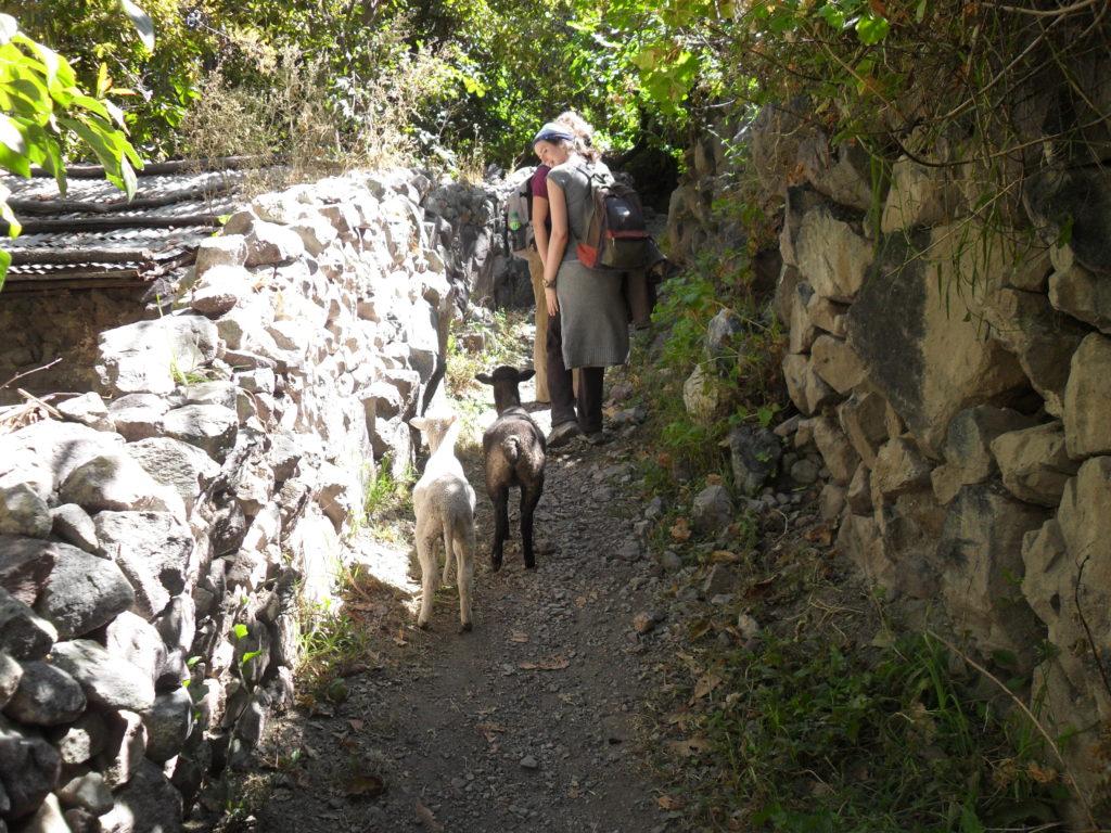 Neugierige Lämmer folgen uns im Colca-Tal. Später gibt es Mittagessen in San Juan de Chuccho