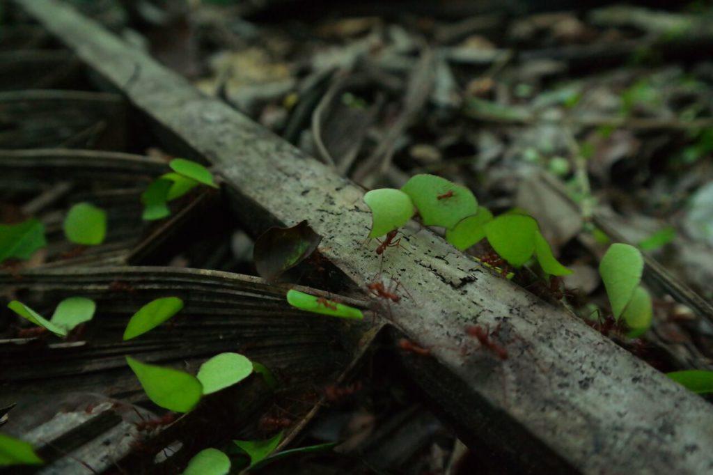 Im Tiefland von Bolivien bei Rurrenabaque. Ameisen auf Arbeit =). Foto von Beo