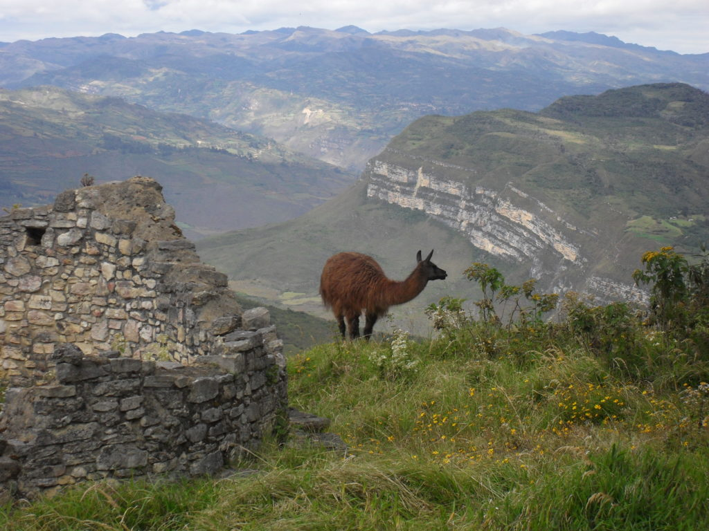 Wunderbar: ein Lama am oberen Rand der Mauern der Festung, im Hintergrund die Gipfel der Ostkordillere