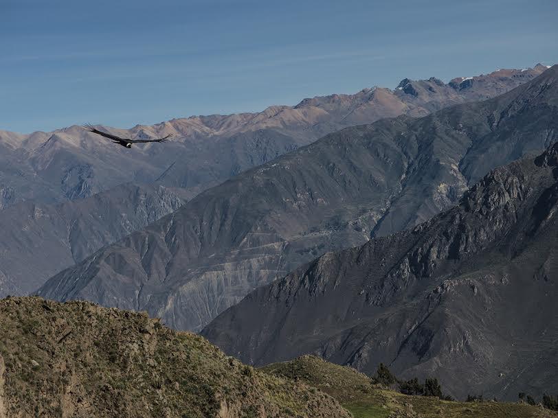 Der Kondor beim Flug über der Schlucht des Canyons