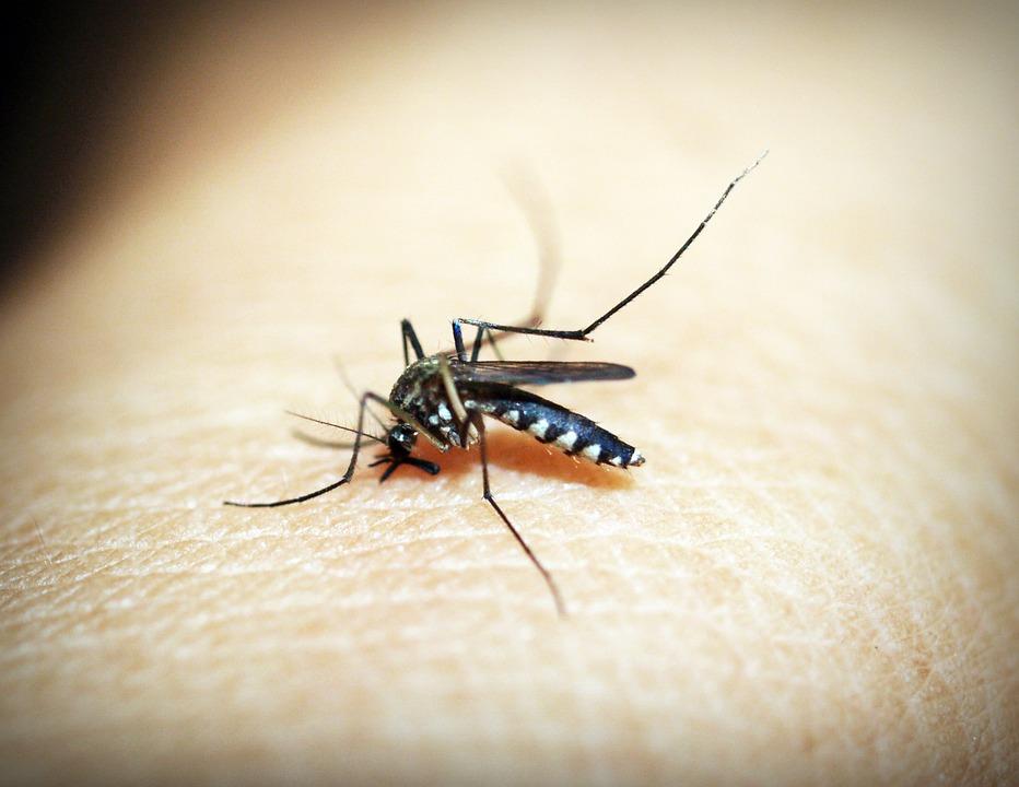 Die Übertragung der Malaria erfolgt durch die Anopheles-Mücke