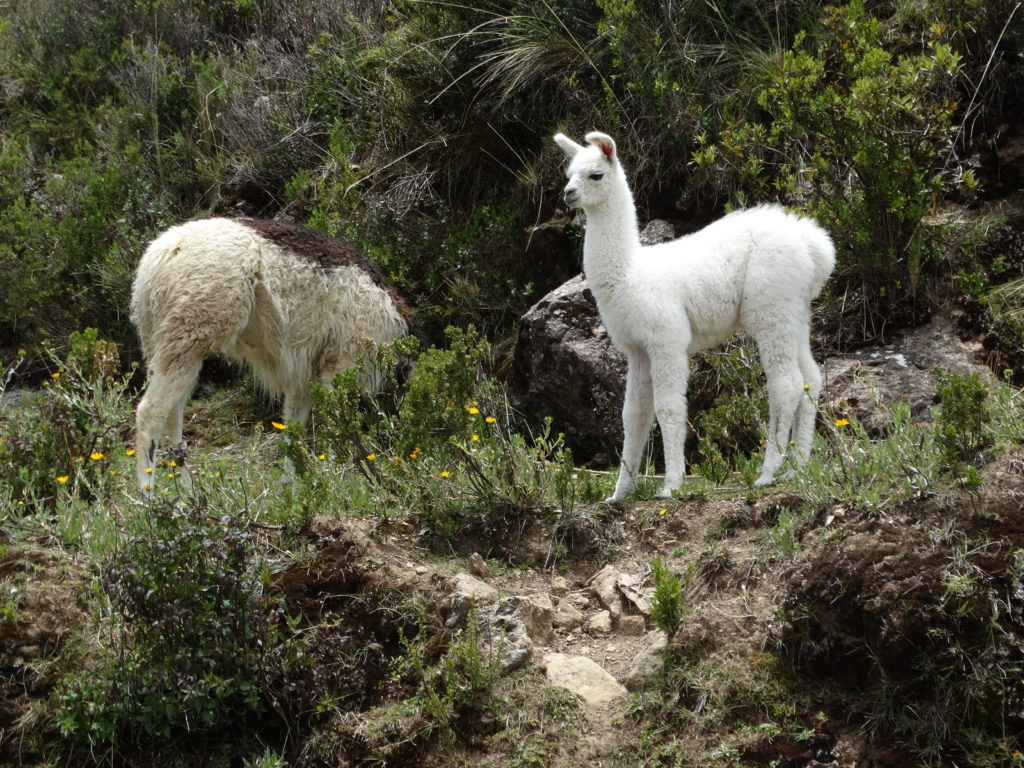 isla-del-sol-lamas-am-wegesrand